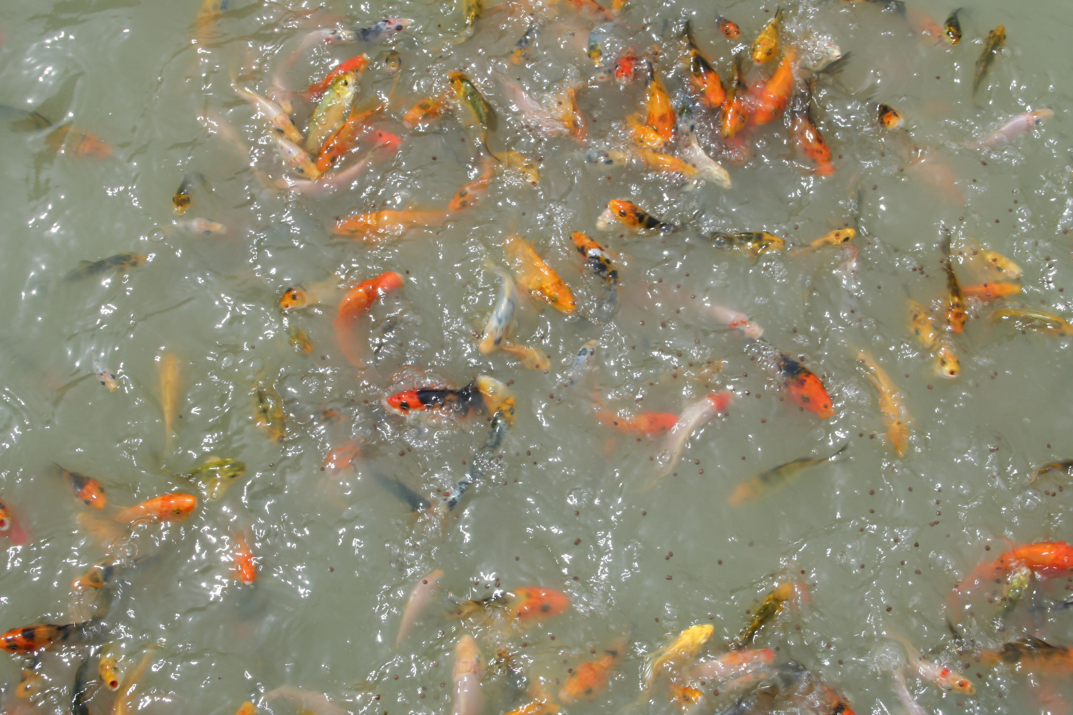 Clear fork koi farm for Koi carp farm